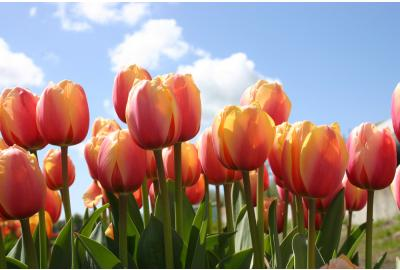 Hoe plant ik tulpen bollen en narcissen bollen?