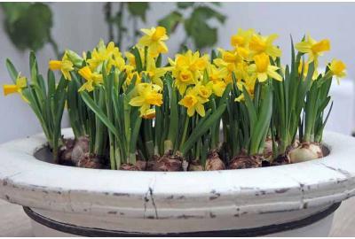 Kan ik tulpen en narcissen in potten planten?
