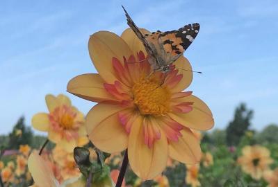 Bijen- en vlinder tuin