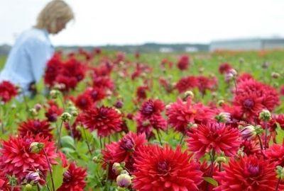 5 tips voor meer dahliabloemen