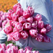 Roze tulp Aafke