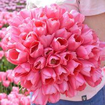 Tulpenbollen Sissi