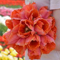 Tulpenbollen Ad Rem Parrot