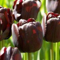 zwarte tulp Paul Schrerer