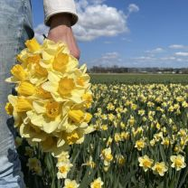Yellow Salome