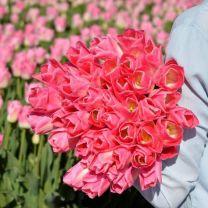 Roze tulp Dynasty