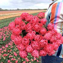 Dubbele roze tulpen Taiwan