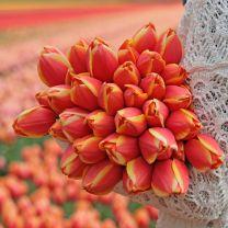 Oranje tulp Royal Ad Rem