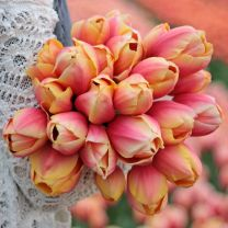 roze tulp Marit