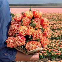 Tulpenbollen van gefranjerde tulp Brisbane