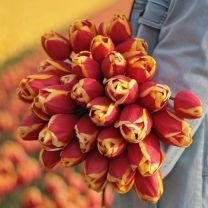 Rood gele tulpen Rambo