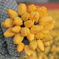 Gele tulp Golden Parade