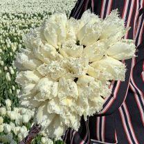 Gefranjerd witte tulp Noordeinde