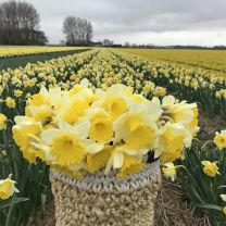 Narcis Holland Sensation