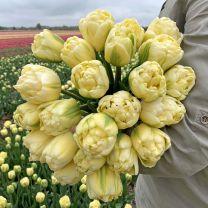 Dubbele witte tulpen