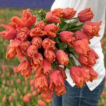 Tulpenbollen van parkiettulp Amazing Parrot