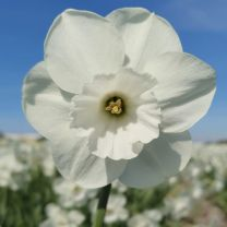 Witte narcis Stainless