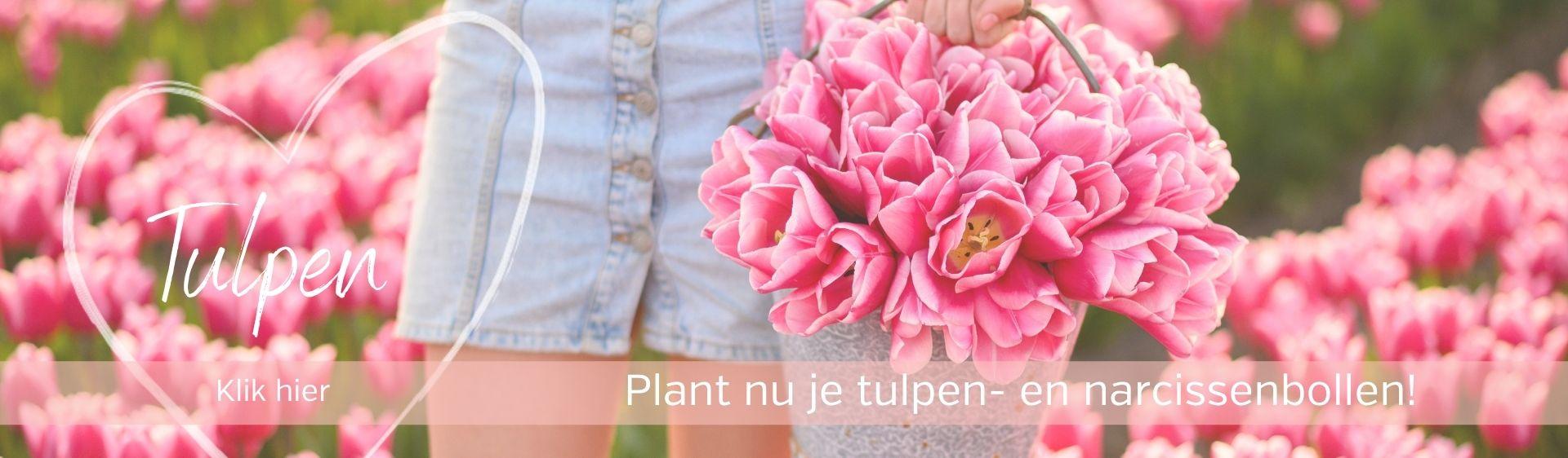 Tulpenbollen direct van onze kwekerij
