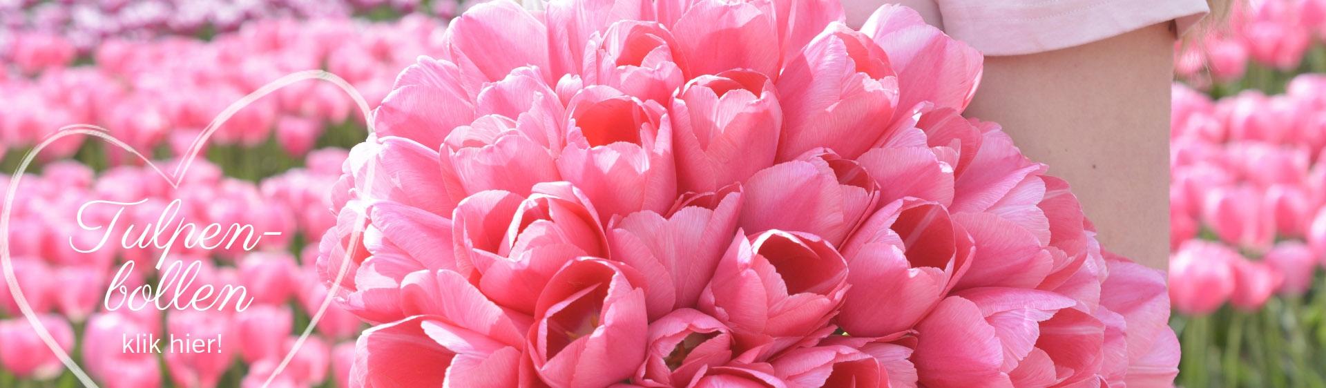 Tulpenbollen vers van de kwekerij