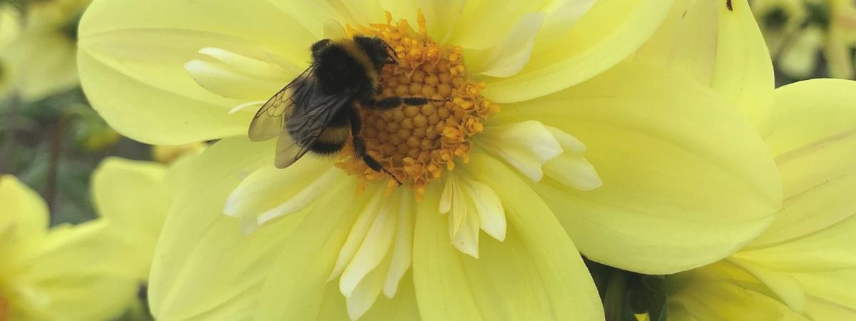 bijen op dahlia's